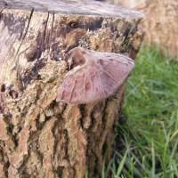 Jelly Ear Fungus, Auricularia auricula-judae