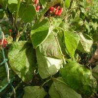Bean Anthracnose, Colletotrichum lindemuthianum
