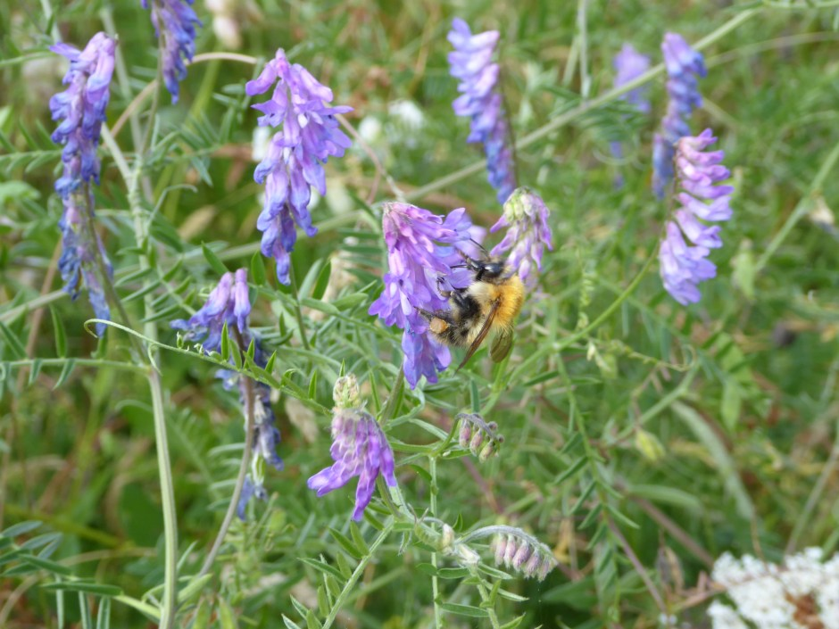 Bombus pascuorum on Tufted Vetch