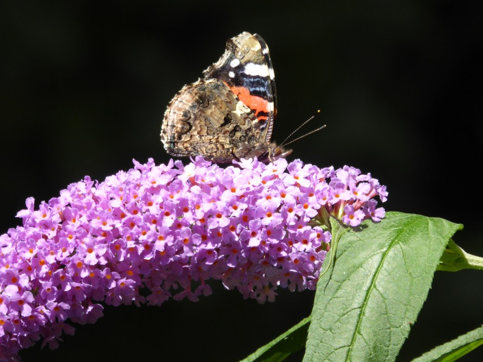 Red Admiral butterfly on Buddleija