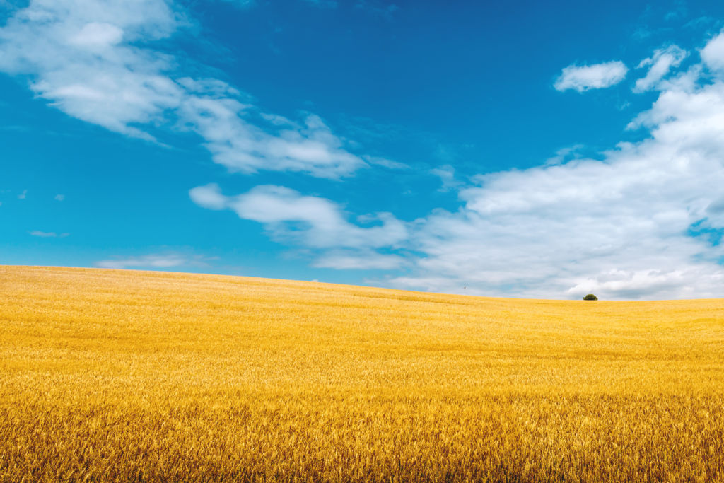 Free Fall Harvest Wallpaper Golden Wheat Field With Blue Sky In Background Jeshoots