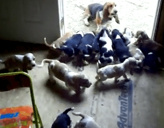 too many basset hound puppies