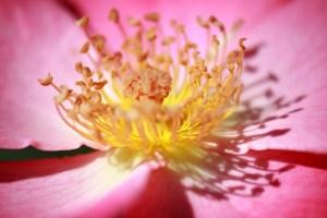 yellow stamen, pink flower