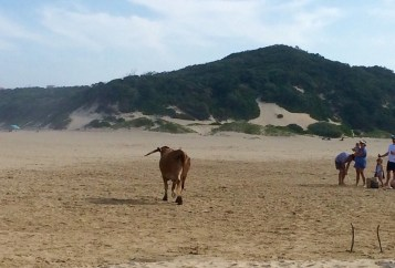East Chintsa cow on beach