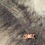 Panamanian hermit crabs