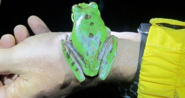 frog hunting costa rica 3