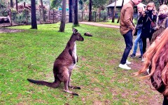 Healesville Sanctuary zoo Melbourne Australia kangaroo