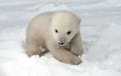 Facebook Rostock Zoo baby polar bear