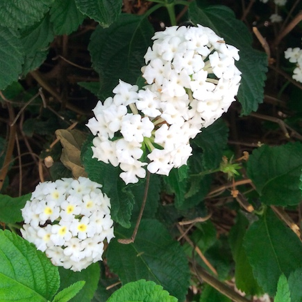white flowers on chizkiyahu hamelech