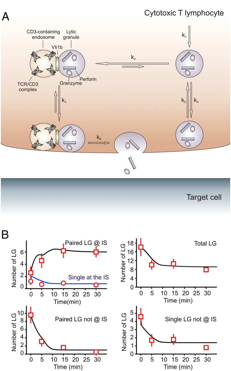 Granule Lg Docking Of Lytic Granules At The Immunological Synapse In Human
