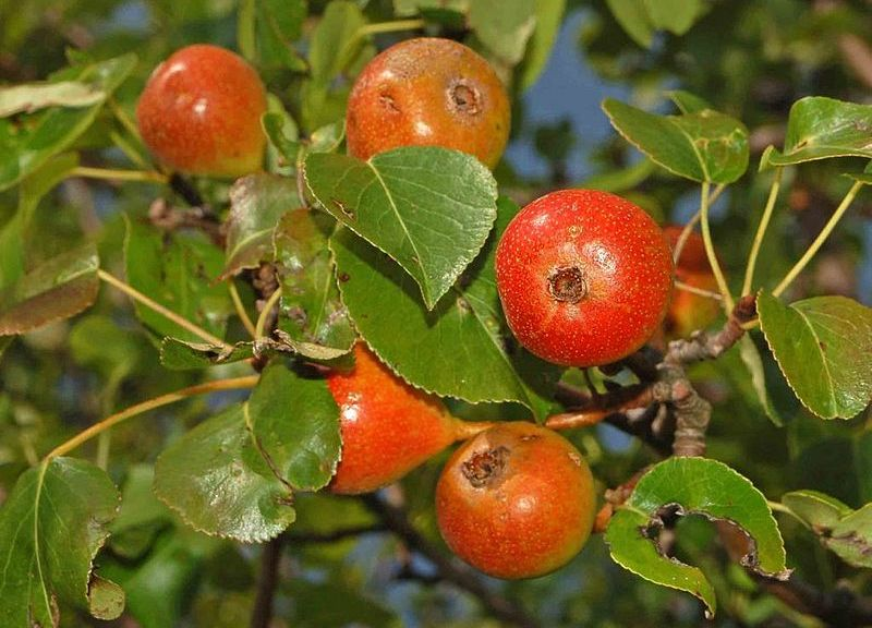 800px-Rosaceae_-_Pyrus_pyraster_-_Perastro