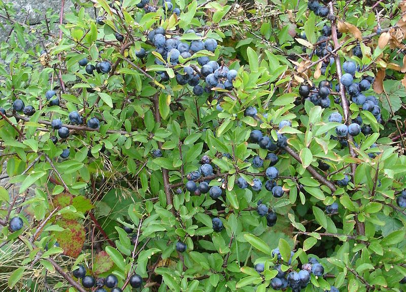 Blackthorn_aka_sloe_aka_prunus_spinosa_sweden_20050924