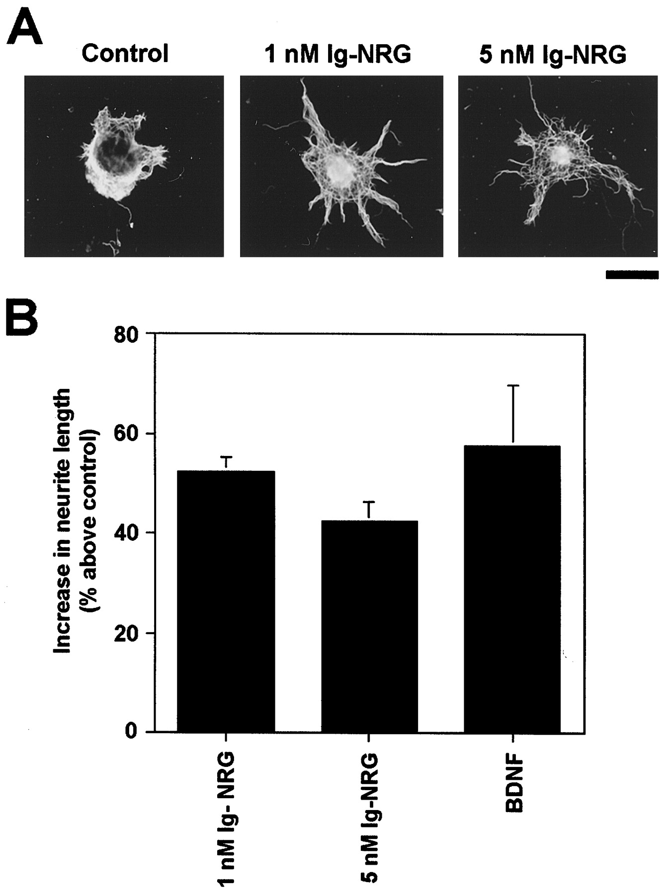 Granule Lg Neuregulin Induces Gabaa Receptor Subunit Expression And Neurite