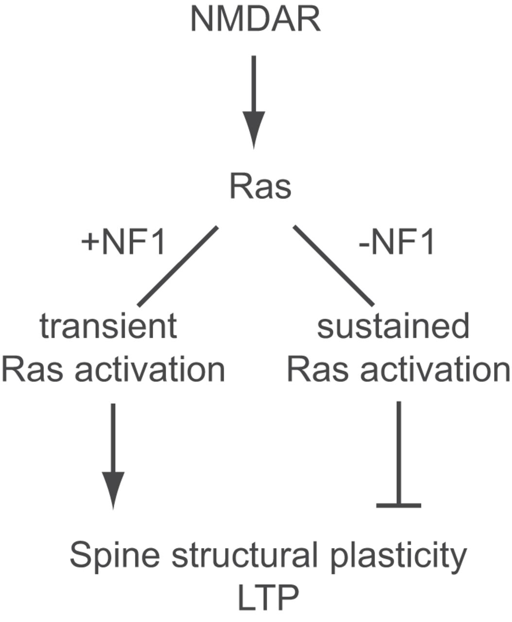 Ras Neurofibromin Is The Major Ras Inactivator In Dendritic Spines