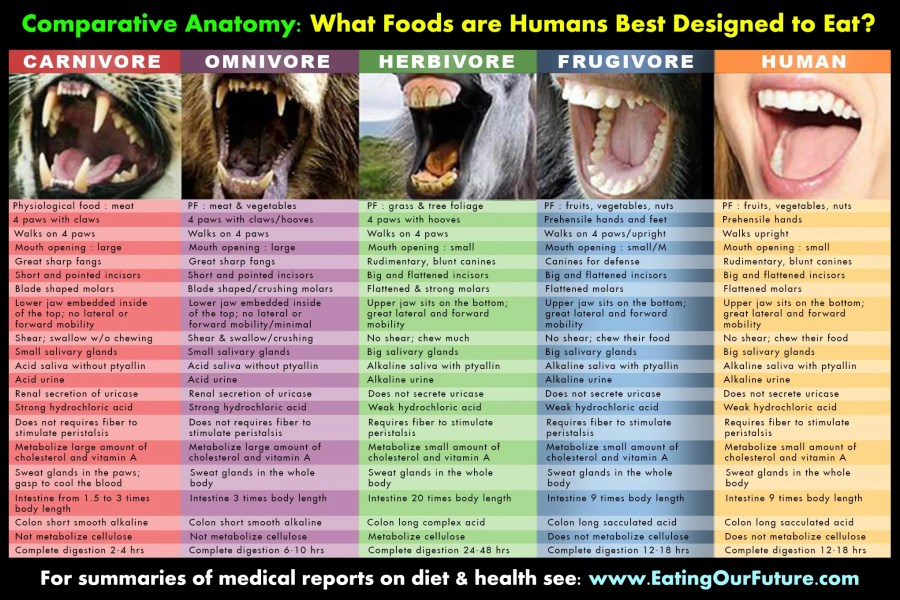 human-biology-indicates-our-optimal-food-diet-a-comparison-of-digestive-systems-for-frugivores-omnivores-carnivores-herbivores-hires