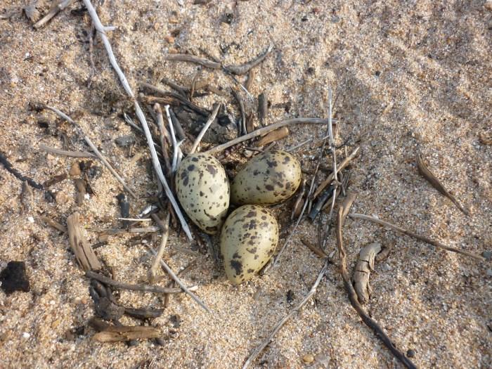 Tern's nest on the sand spit, Hatchet Lake