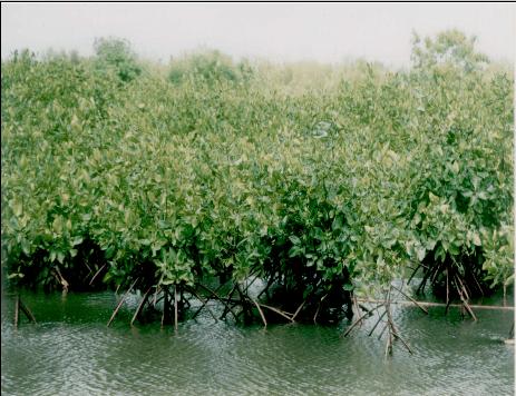 Contoh Hutan Mangrove Icefilmsinfo Globolister Hutan Mangrove