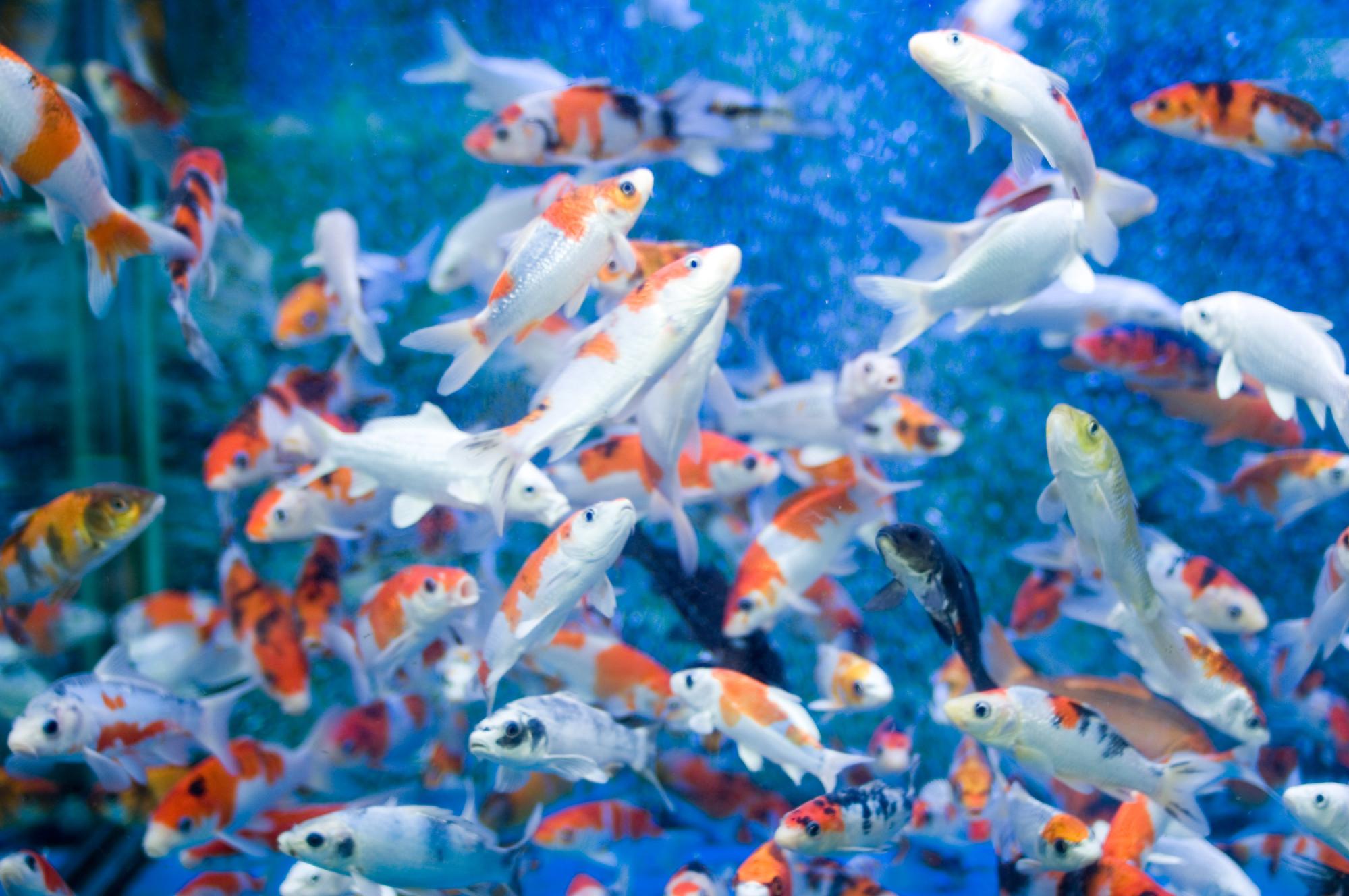 Koi 3d Wallpaper Free Moving Fish Backgrounds Desktop