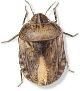B Eurygaster alternata
