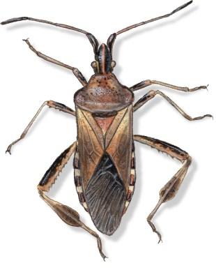 B Leptoglossus occidentalis