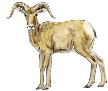 Sheep Mountain male