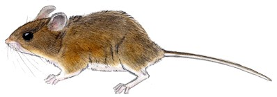 mouse P. maniculatus