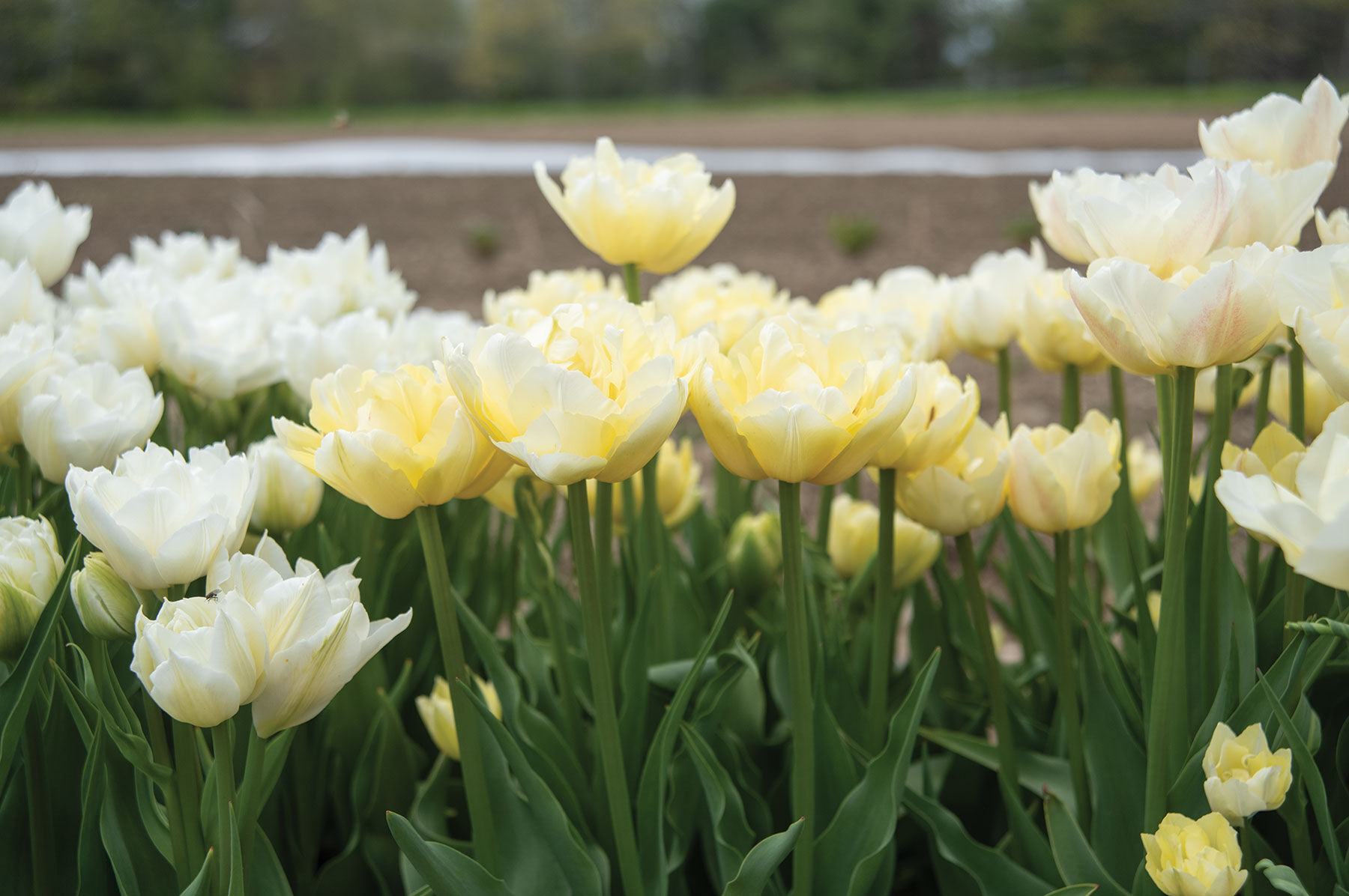 Verona Tulip Bulb Johnny S Selected Seeds