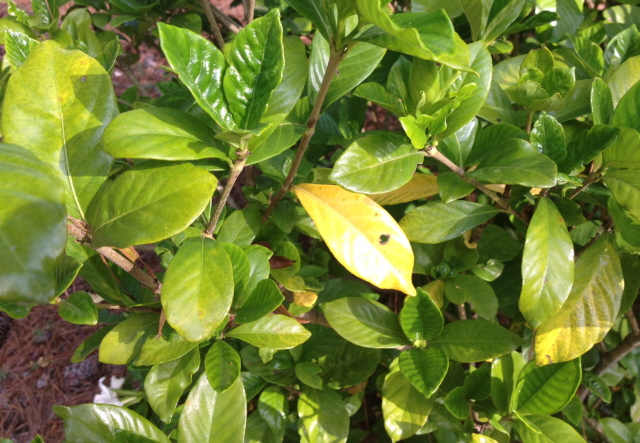 Gardenia Flower Leaf What's Wrong With My Gardenias? Yellow Leaves, Spots, Rust