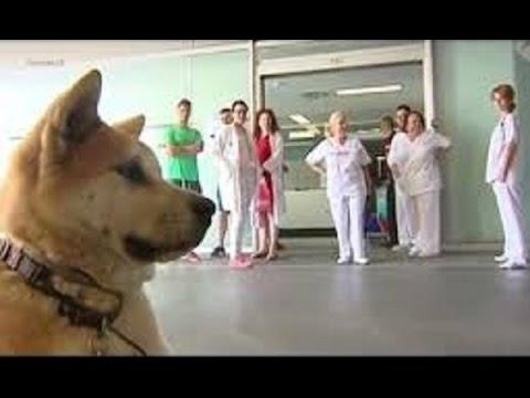 スペインでも秋田犬は 忠犬だった! 帰宅を拒み病院の前で 一心に飼い主を6日間 待ち続けた犬【感動】 #トラベル #旅行 #followme