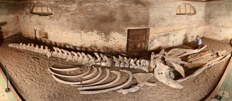 The whale skeleton (at Burton Constable, East Yorks.) that inspired Moby Dick