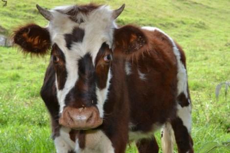 Una vaca en el camino