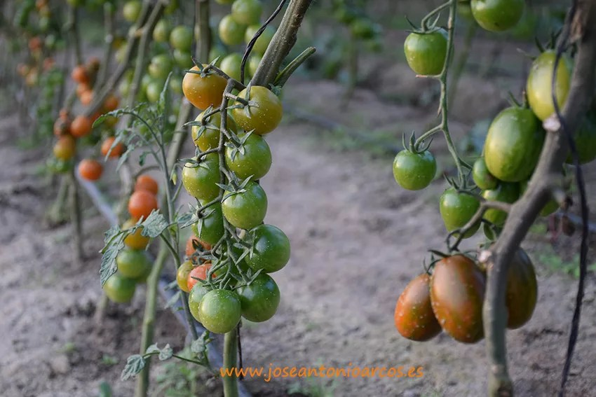 Cherry-redondo