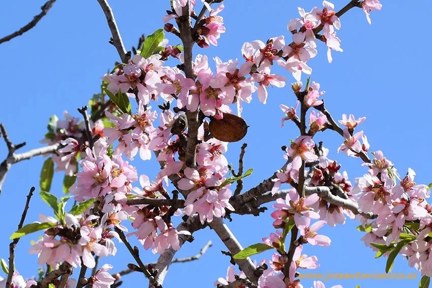 Almendro-planta-de-marzo