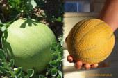 Syngenta innova en sandías mini y melón cítrico