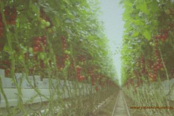 Holanda produce 51 semanas al año