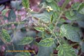 Cuchara y spotted provocan el arranque de cultivos