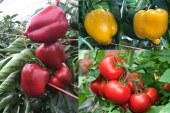 Coloración de pimiento y tomate en meses de frío