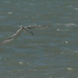 Definitely a tern, and I'm thinkin a Forster's Tern based on the long tail feathers.