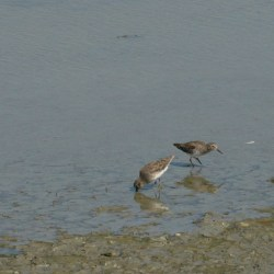 Western Sandpipers, I think juveniles, in Hayward RS.