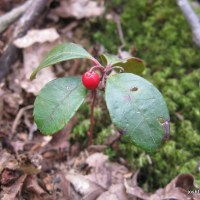 Subshrub ID: Eastern Spicy-wintergreen