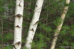 Photo of Gray Birch and Eastern White Pine