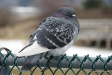Photo of Rock Pigeon