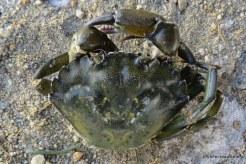 Photo of Green Crab