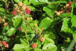 Photo of Bristly Blackberry fruit