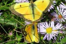 Photo of Orange Sulphur (male -- top)