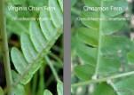 Photos of Virginia Chain Fern and Cinnamon Fern