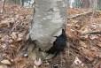 Cherry Birch is one of the hosts of Chaga (Inonotus obliquus)