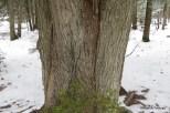 Photo of Eastern Hemlock (Tsuga canadenis)