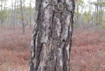 Photo of Pitch Pine (Pinus rigida)