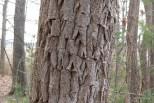 Photo of Sassafras (Sassafras albidium)